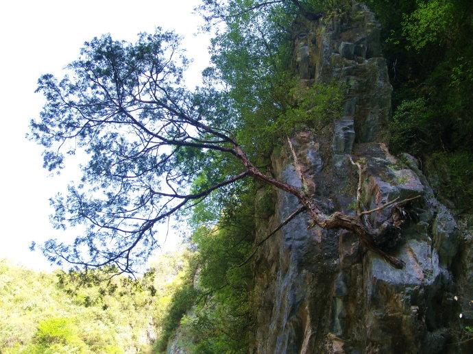 崖柏的美应在山崖