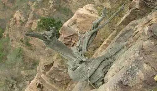 崖柏的特点,崖柏与其他柏树的区别  崖柏生长在少土少水的悬崖峭壁之