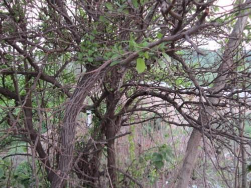 柘木盆景图片价格_柘木吧,柘木是什么 | 中国崖柏网