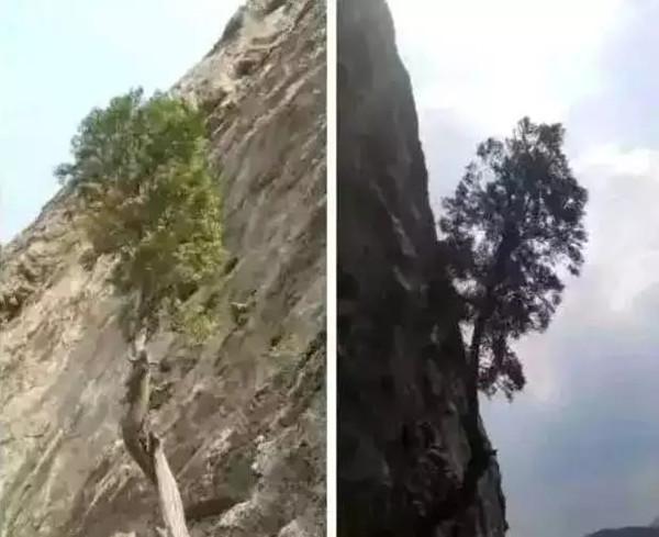 如何判断崖柏阳坡料与阴坡料