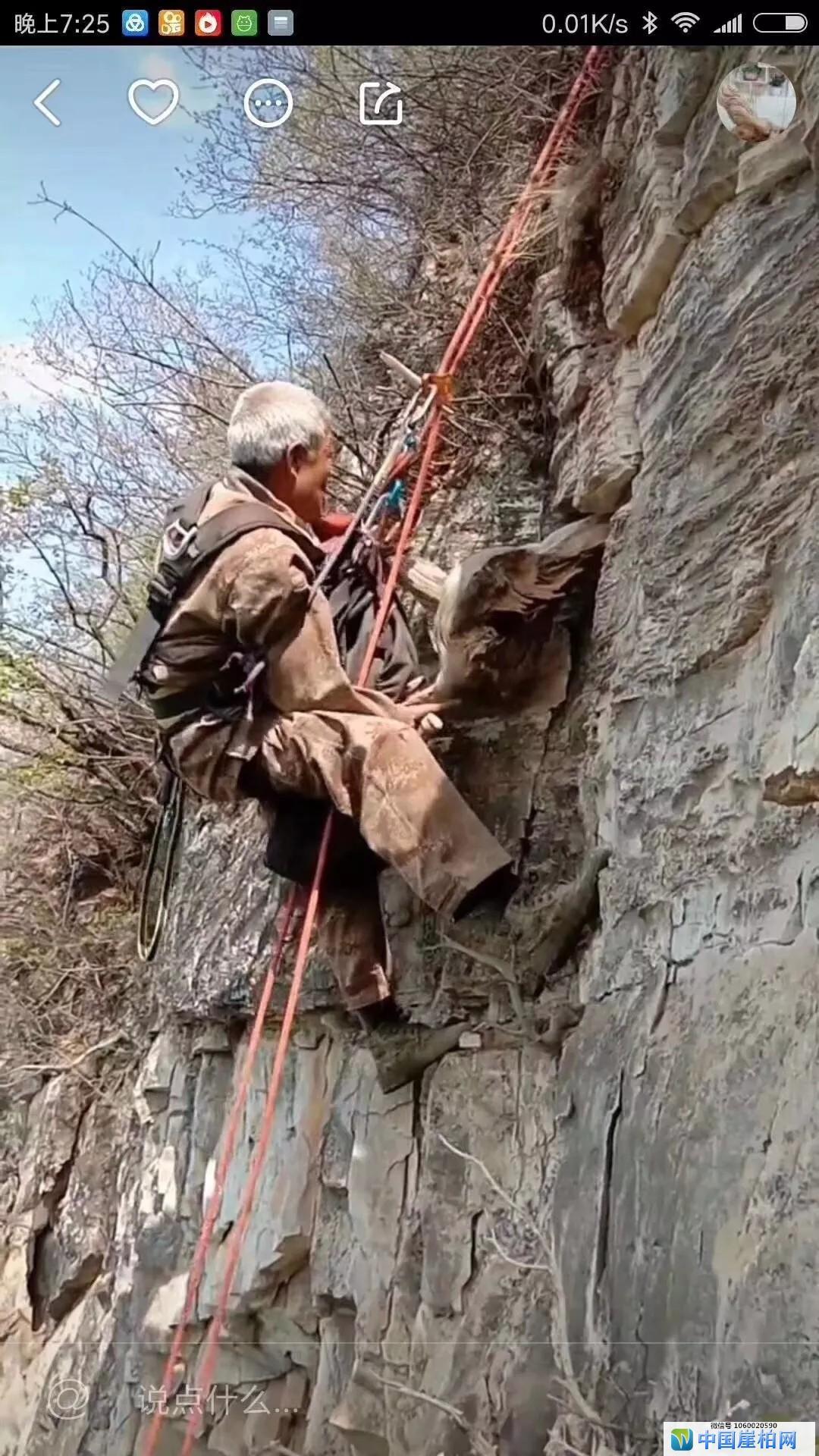 峭壁上的舞者,六旬老人峭壁采崖柏