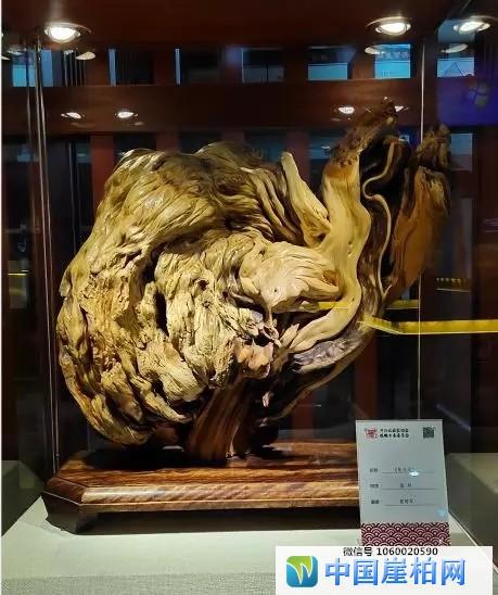 石家庄市博物馆展览崖柏作品