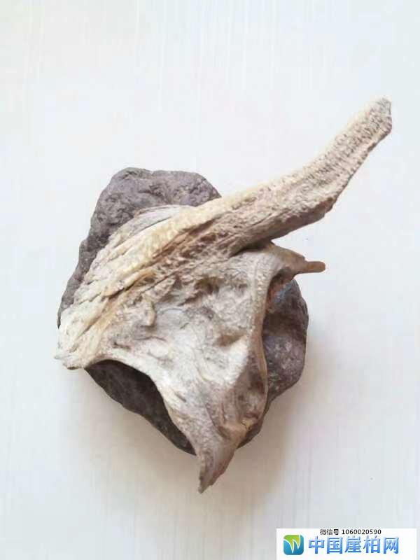 《石上落叶》  崖柏作品 高6厘米、重0.l斤