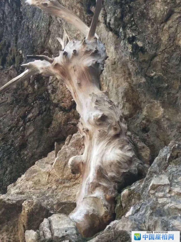 悬崖上的崖柏